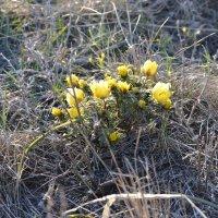 Адонис...а в степях весна... :: Андрей Хлопонин