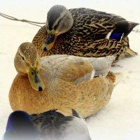 Утки зимующие на Большом пруду - 2 :: Сергей