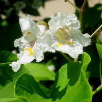 Цветы катальпы :: Самохвалова Зинаида