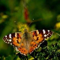 скоро лето, бабочки...9 :: Александр Прокудин