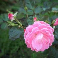 Розовые роооозы... :) :: Ирина Via