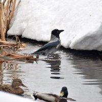 Ворона искупалась в марте - к оттепели. (примета) :: Татьяна Помогалова