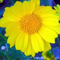Желтая ромашка. :: Валерьян Запорожченко