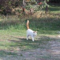 кот рыжий хвост :: Олег Овчинников