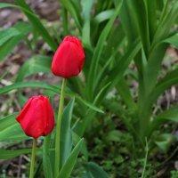 Первые тюльпаны :: Светлана