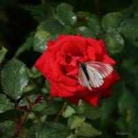 Бабочка и роза. :: АНДРЕЙ ЕСЕНИН