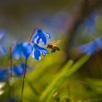 Пчела за работой :: Фёдор. Лашков