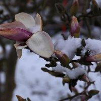 Магнолии в снегу :: Вальтер Дюк
