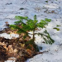 В тайге еще снег... :: Галина