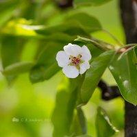Цветок груши :: Александр Синдерёв