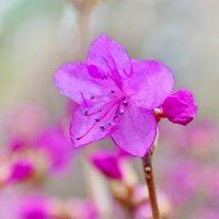 Рододендрона цвет... :: Любовь С.