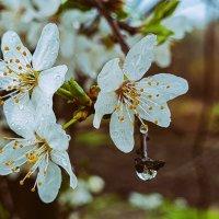 Цветёт алыча :: Валерий Ткаченко