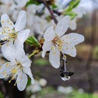Цветение весны :: Валерий Ткаченко