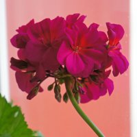 Цветет герань. :: сергей
