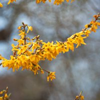 Желтая весна ... :: Владимир Икомацких