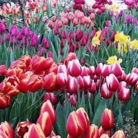 Парад тюльпанов :: Лидия Бусурина