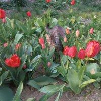 Прогулка в тюльпанах :: Наталья