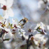 Просто попа пчелки) :: Александр Довгий
