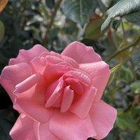 Розовая роза :: Александр Деревяшкин