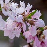 Персик цветёт :: Елена Ахромеева