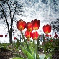 Просто тюльпаны :: Александр Довгий