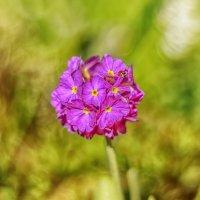 Петвоцветы :: Владимир Колесников