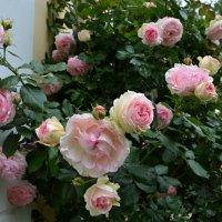 В парке роз :: tamara *****
