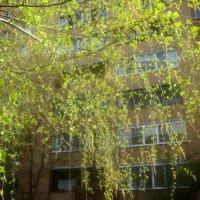 Мелодия весны(березы) :: Елена Семигина