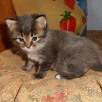 Котёнок :: Наталья