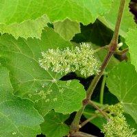 Цветет виноград :: Гала