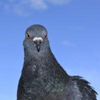 Умный голубь. :: Марина Никулина