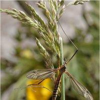 Комар-долгоножка (лат. Tipulidae) :: Bo Nik