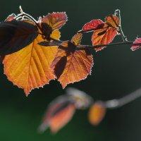 Весенние  листья лесного ореха . :: Анатолий Святой