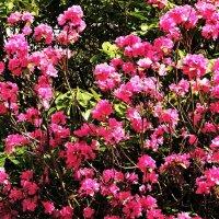 Праздничное цветение Маральника(багульника) :: Aida10