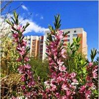 Цветущая весна. :: Валерия Комова