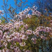 Цветущая весна ... :: Лариса Корж