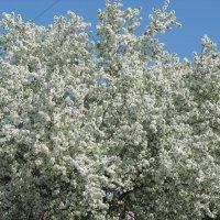 Яблони в цвету. :: Любовь