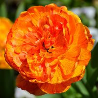 Тюльпан во всей красе! :: Тамара Бедай