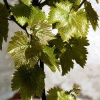 Листья  винограда :: Валентин Семчишин