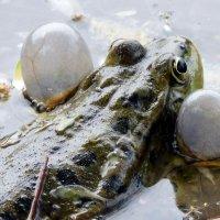 Озерная лягушка :: Елена Логачева