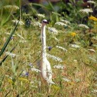 Малая белая цапля чепура нужда :: Гала