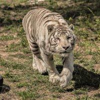 Бенгальский тигр. :: аркадий
