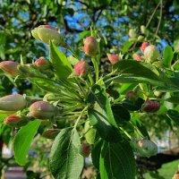 Пришла пора цветущих яблонь :: Liliya Kharlamova