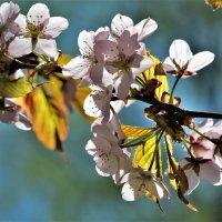 Весна. Сакура.... :: Евгений Яхим