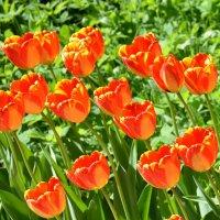Цветы весны :: Ольга