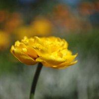 Необычный тюльпан :: Наташа С