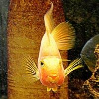 Рыбка золотая разговорчивая :: Татьяна Лютаева