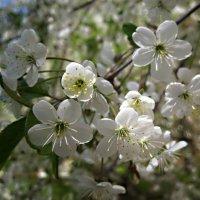 Время цветения вишни :: Елена Семигина