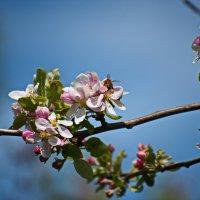 Яблони в цвету ... :: Владимир Икомацких
