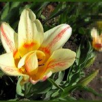 Пора тюльпанов :: veera (veerra)